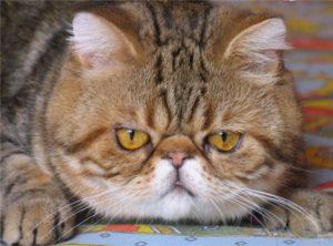 порода кошек с приплюснутым носом