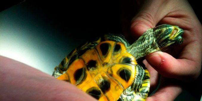 Как держать голову черепахе