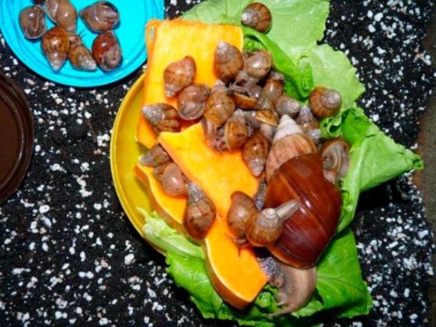 Маленькие ахатины питаются в основном из мелко натертых фруктов и овощей