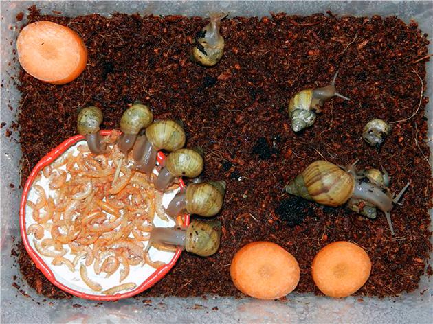 В рационе питания моллюска ахатина должно присутствовать достаточное количество сепией