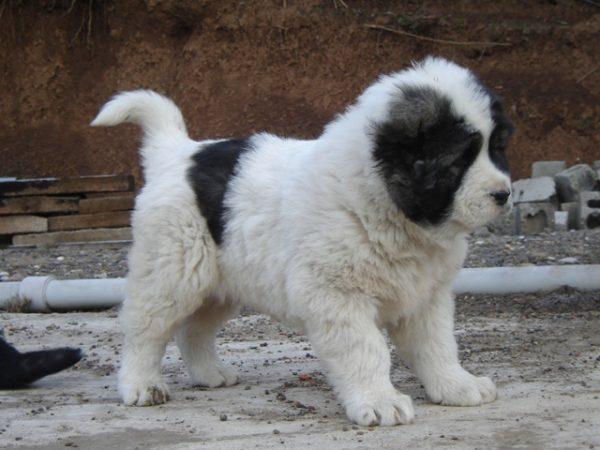 Где купить щенка кавказской овчарки