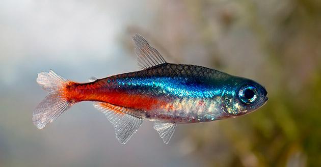 Ареал обитания светящейся рыбки неон - реки амазонки