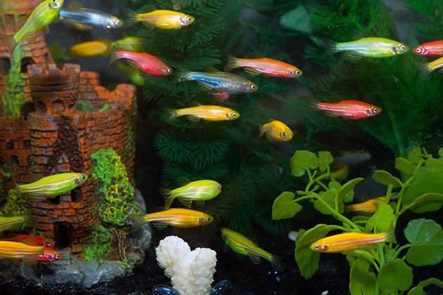 Содержать GloFish , могут даже неопытные аквариумисты
