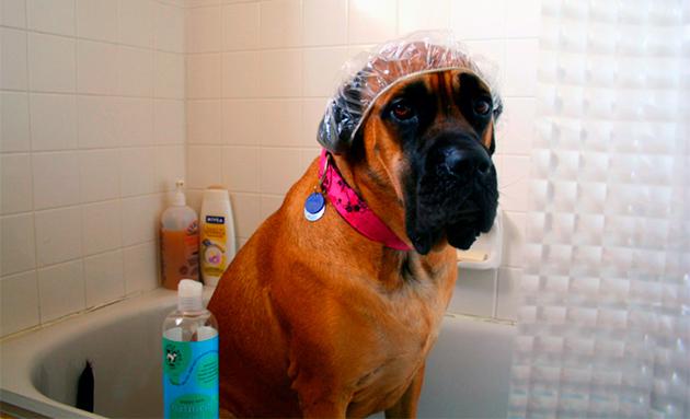 Часто покраснение ушей у собаки образуются из-за попадание воды внутрь уха при купание