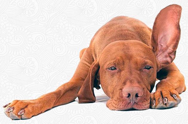 Почему у собаки красные уши