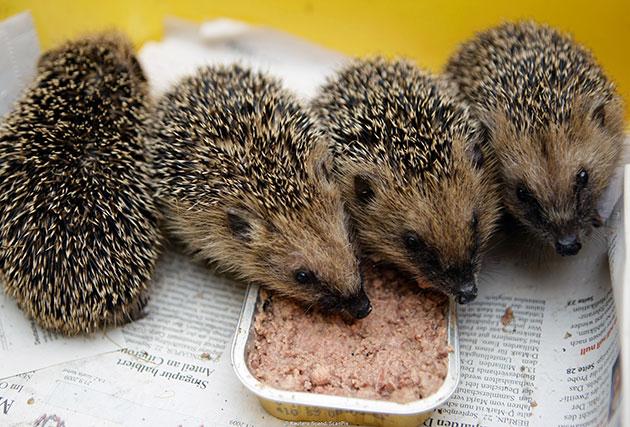 Ежи не прихотливы в еде, но так как они хищники - необходимо давать еду богатую белками