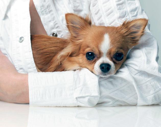 Основным требованием к собаке-компаньону — спокойный характер, не агрессивность и умение контактировать с членами семьи