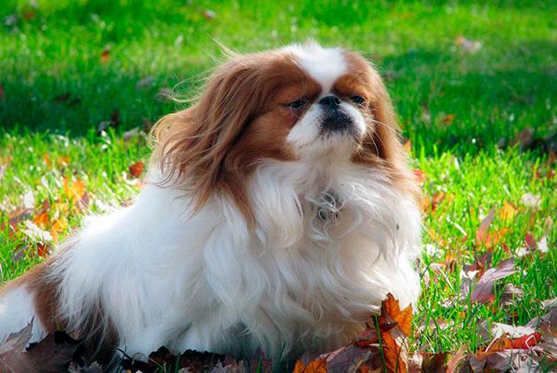 Собака-компаньон — Японский хин