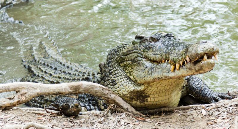 У взрослых гребнистых крокодилов, практически, отсутствуют естественные враги