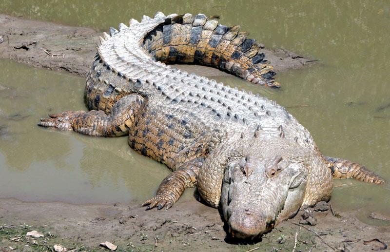 У взрослого гребнистого крокодила довольно широкое и приземистое туловище