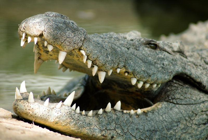 Гребнистый — это единственный евразийский крокодил, который может обитать как в пресной, так и в солёной воде