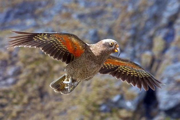 Популяция попугая кеа малочисленна и поэтому этот вид занесен в Красную книгу