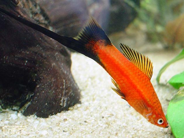 При содержание меченосцев необходимо учесть один момент, минимальный объем аквариума — 50 литров
