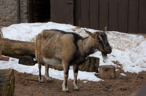 Альпийская коза на снегу