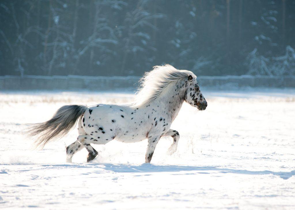 Внешний вид пони Апплуза