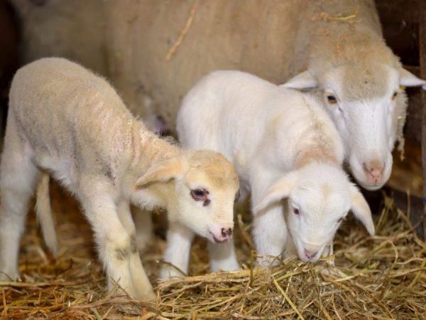 Процесс окота овец