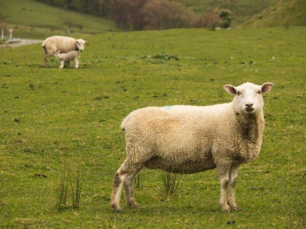 Беременность овцы