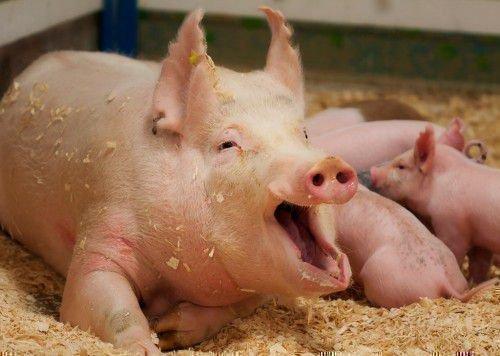 Вентиляция свинарника