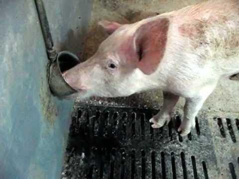 Свинья пьет из поилки
