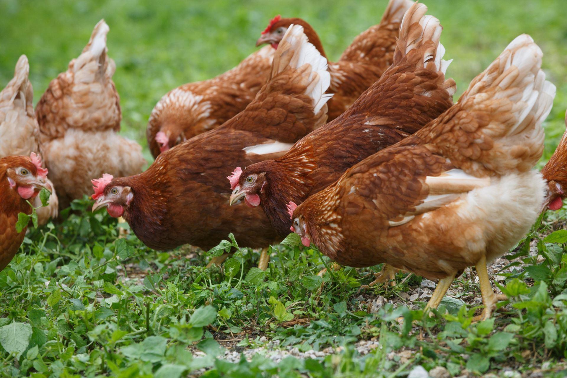 универсальные породы кур