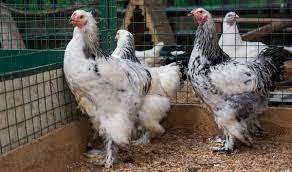 цыплята породы Брама