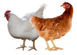 Популярные породы кур
