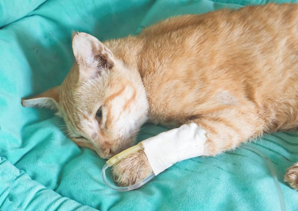 химиотерапия у кошек