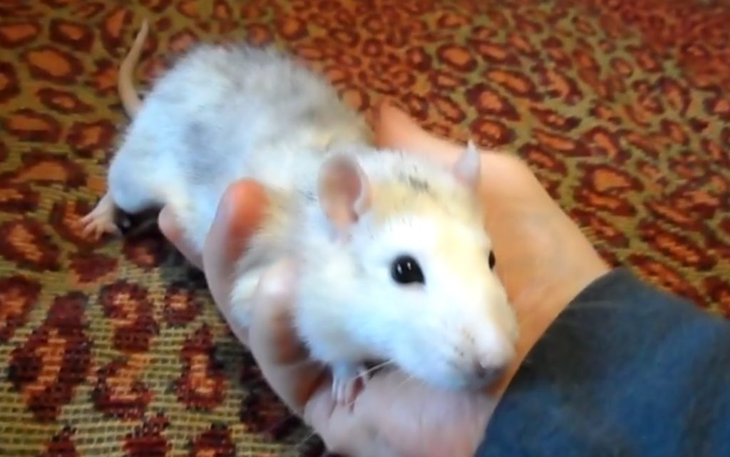 Ручная крыса Санит