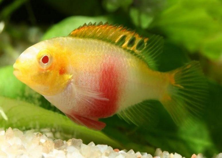 Вибриоз у аквариумных рыбок