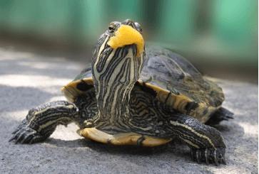 красноухая черепаха не ест вялая и спит