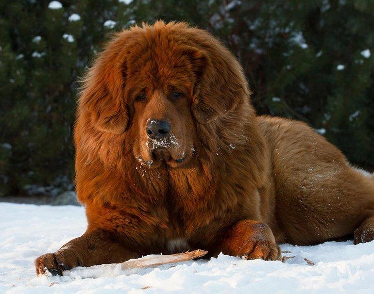 Описание породы собак тибетский (гималайский) мастиф