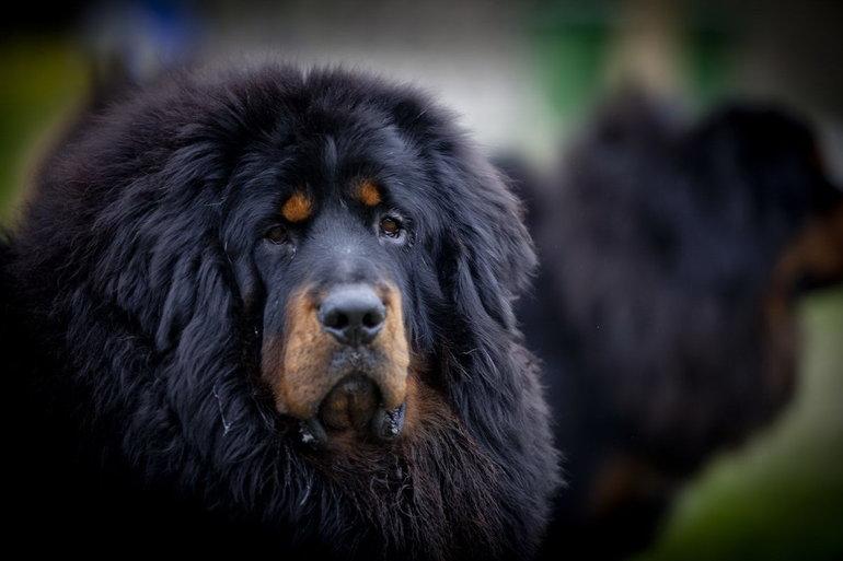 Как содержать собак тибетской дога