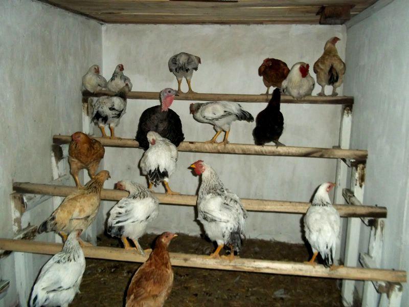 Насесты для куриц в курятнике