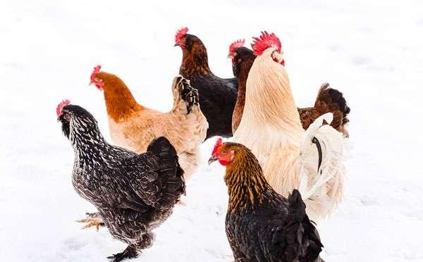 Продолжительность светового дня напрямую влияет на яйценоские способности кур