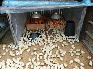 Фото цыплят бойлеров - малыши в вольере