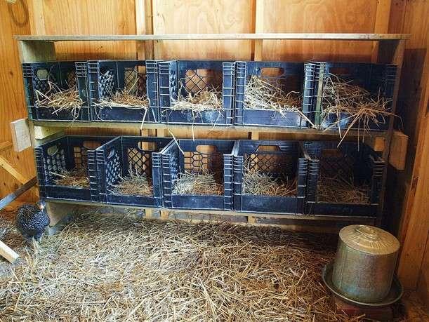 гнезда в курятнике