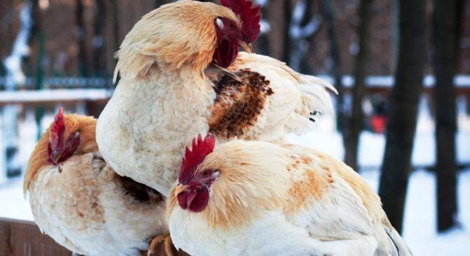 Как содержать кур зимой на даче