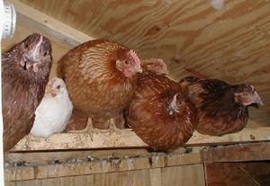 Курятники для куриц фото
