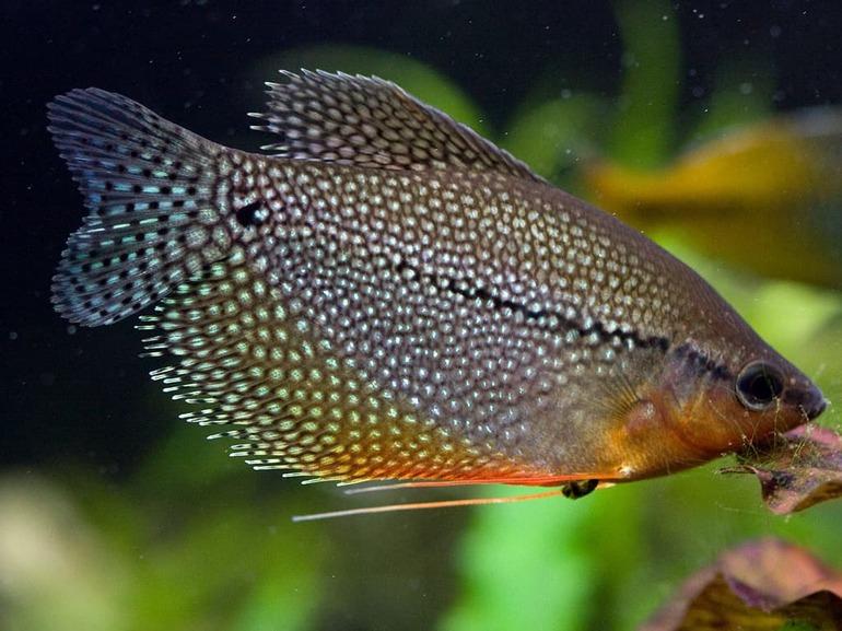 Лабиринтовые или белонтиевые рыбки