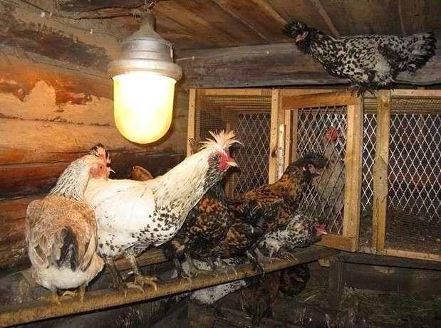 освещение в курятнике в зимнее время