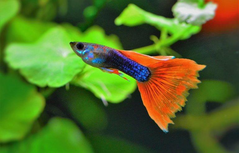 Самые неприхотливые породы рыбок гуппи